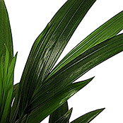Dypsis lutescens 12
