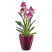 ORCHIDEENVASE MADEIRA CYCLAM GLZ. D.14cm