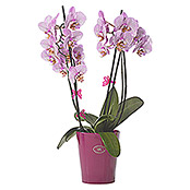 ORCHIDEENCLIP       BROMBEER 2ER-PACK