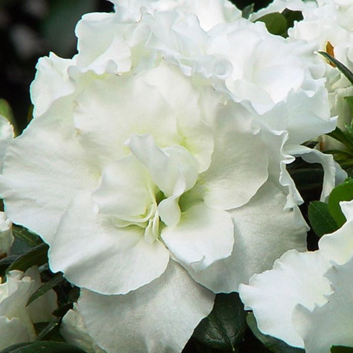 Rhododendron simsii 12 Long Life weiss
