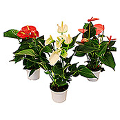 Anthurium andreanum Silence 9 Silence Bl