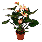 Anthurium andreanum 12 Hot Lips