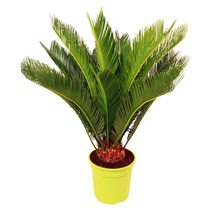 palmfarn cycas revoluta topfgr e 21 cm dunkelgr n. Black Bedroom Furniture Sets. Home Design Ideas