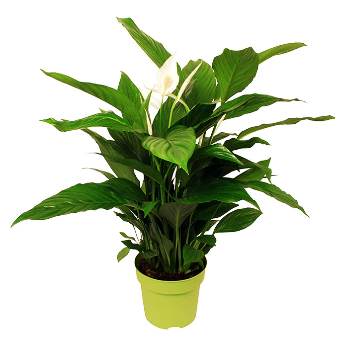 blattfahne spathiphyllum floribundum topfgr e 17 cm. Black Bedroom Furniture Sets. Home Design Ideas