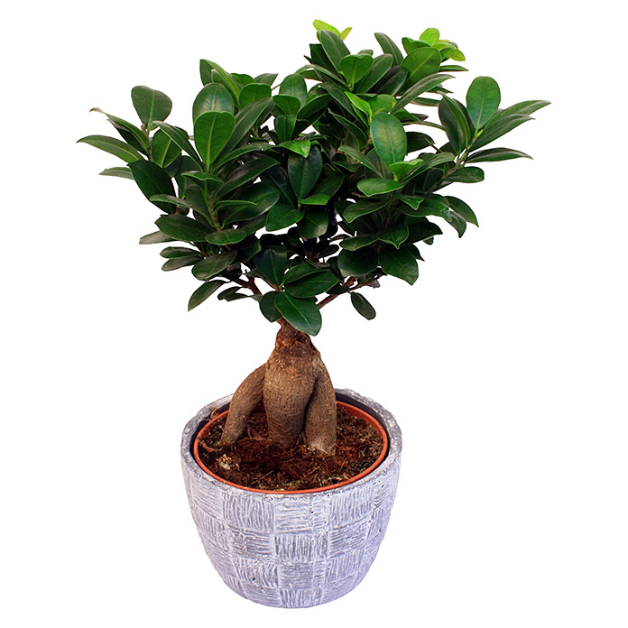 chinesische feige ficus microcarpa ginseng keramiktopf topfgr e 15 cm bauhaus. Black Bedroom Furniture Sets. Home Design Ideas
