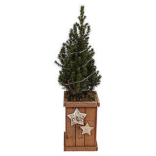 Adventsarrangement Nr. 119 (Picea glauca Conica)