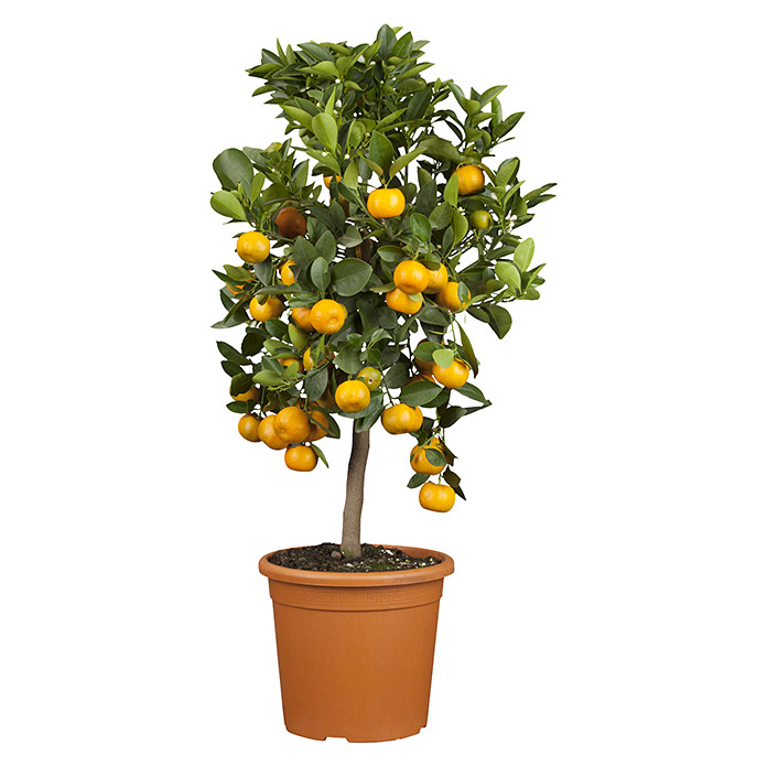 Calamondin-Orange (Citrofortunella microcarpa, Topfgröße: 20 cm)