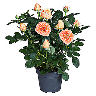 Topfrose Patio Hit (Rosa Hybrid, Topfgröße: 13 cm, Blütenfarbe: Orange)