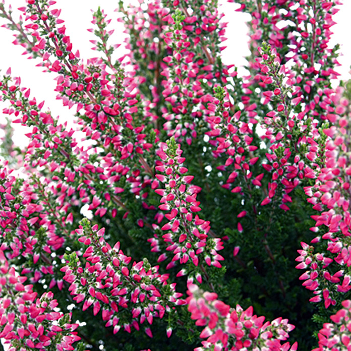 Calluna vulgaris 10 Beauty Ladies i.F. g