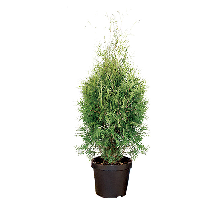 Thuja occidentalis 15 Brabant