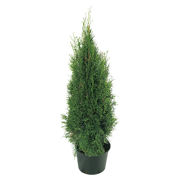 Thuja occidentalis 10 Smaragd