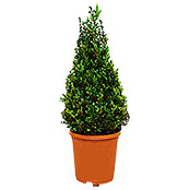 Buxus sempervirens 5Pyramide