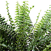 Nephrolepis Green Lady 13