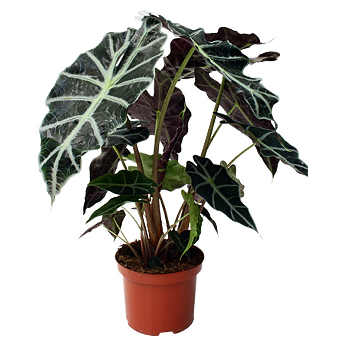 Alocasia Polly 17