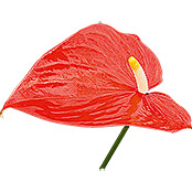 Anthurium andreanum 12 orange