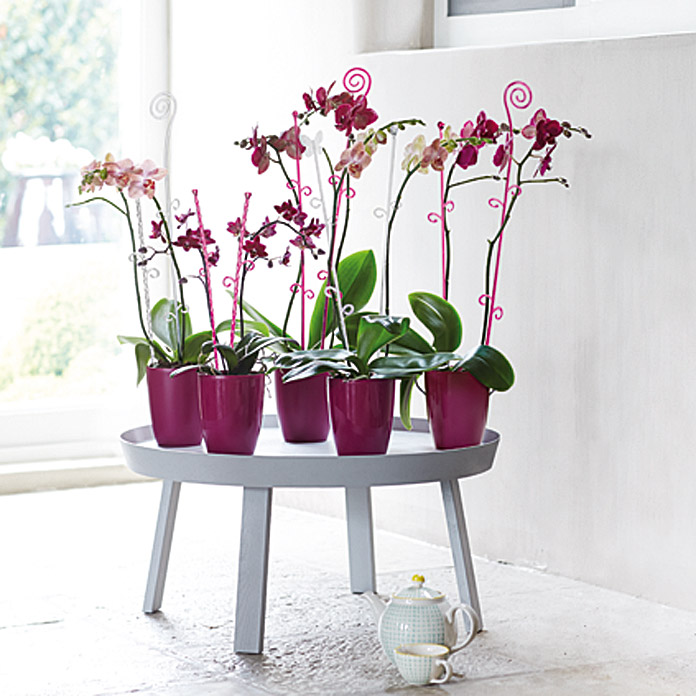 BRUSSELS DIAM.ORCHIDEE HOCH 10,5cm AUBE*