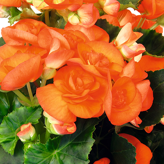 Begonia elatior 14 orange