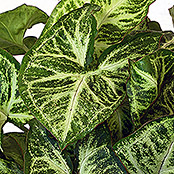 Syngonium podophyllum 12 Arrow