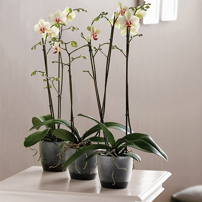 BRUESSELS ORCHIDEE  16cm TRANSPARENT