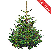 Abies normanniana 0 Standard