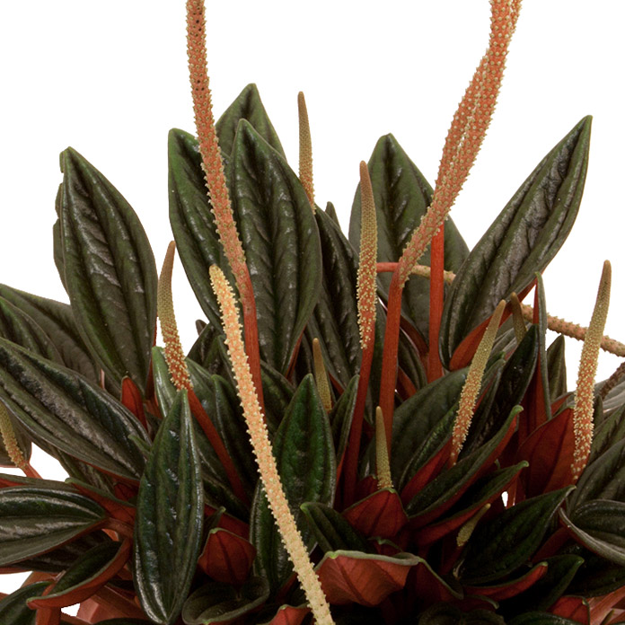 Peperomia rosso 12