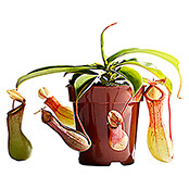 Nepenthes 9