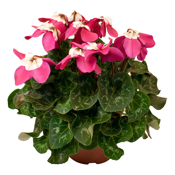 Cyclamen persicum 13Fleur on Fogue