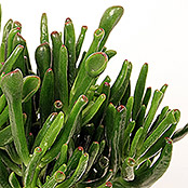 Crassula Hobbit 12