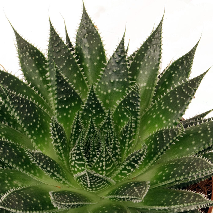 Aloe Magic 12 Magic